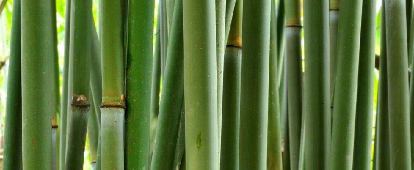 les-utilisations-du-bambou-que-vous-ne-connaissez-pas-post